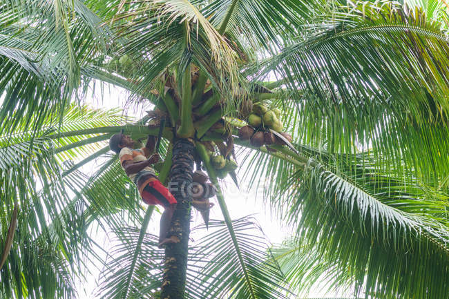 Индонезия, Малуку Утара, Кабул Пулау Моротай, урожай кокоса в пальмовых рощах Моротай на севере Моликкена — стоковое фото