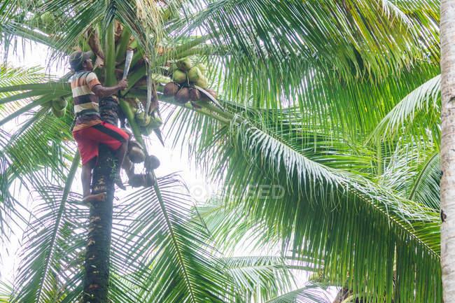 Indonesia, Maluku Utara, Kabul Pulau Morotai, cosecha de coco en palmerales de Morotai en el norte de Molikken - foto de stock