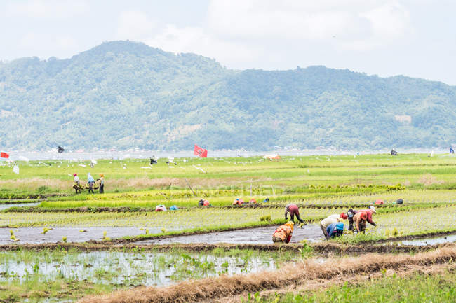 Indonesia, Sulawesi Utara, Kaban Minahasa, locals in rice cultivation, Danau Tondano lake on Sulawesi Utara — Stock Photo