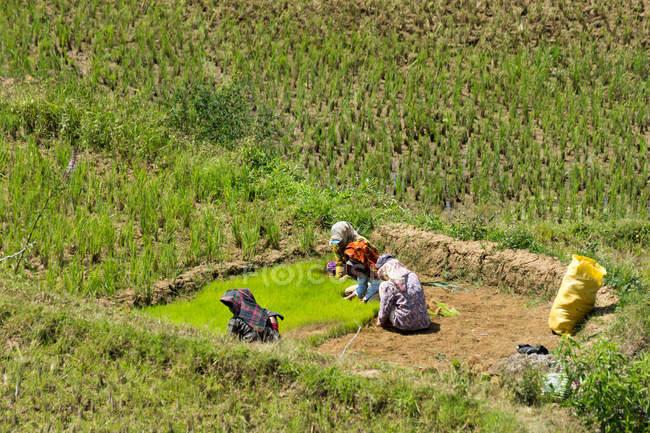 Індонезія, Сулавесі Селатан, Тораджа Утара, місцеві жителі, які працюють на рисових полях. — стокове фото