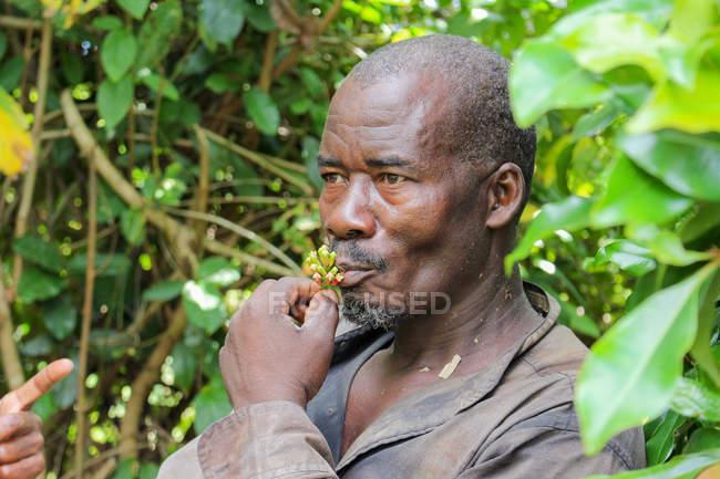Пемба острова, гвоздика врожаю, Танзанія, Занзібарі, людина їсть рослин — стокове фото