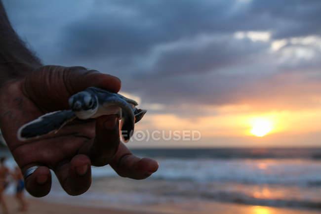 Чоловічої руки, що тримає дитину черепаха, захід сонця у морі на тлі — стокове фото