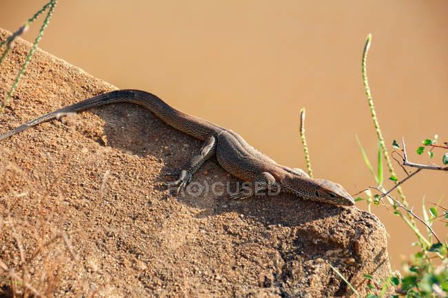Шрі-Ланка, Південна провінція, Tissamaharama, Яла Національний парк, ящірка, лежачи на кам'янистих поверхні — стокове фото