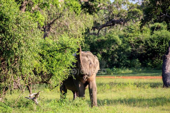 Шрі-Ланка, Південна провінція, Tissamaharama, Яла Національний парк, Індійський слон в природному середовищі існування — стокове фото