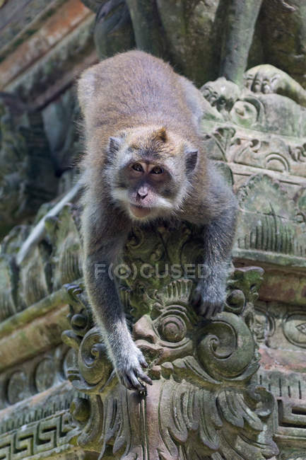 Singe dans la forêt de singes de Sangeh assis sur l'ancien bâtiment du temple — Photo de stock