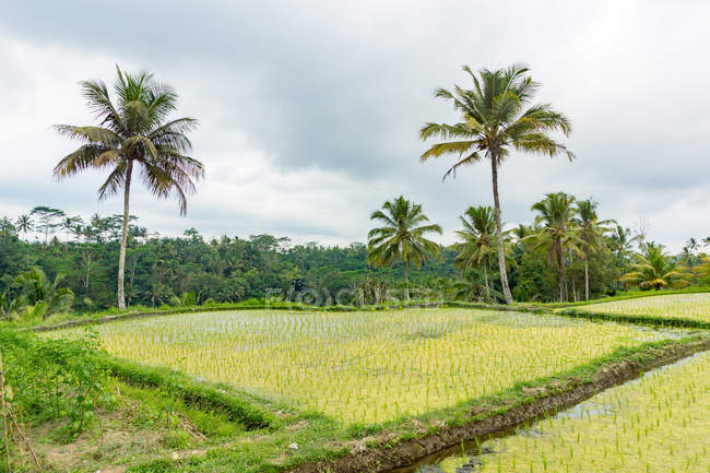 Indonésie, Bali, Gianyar, terrasses de riz à Bali, Pura Gunung Kawi, Banjar Penaka est un village dans la province de Tambak — Photo de stock