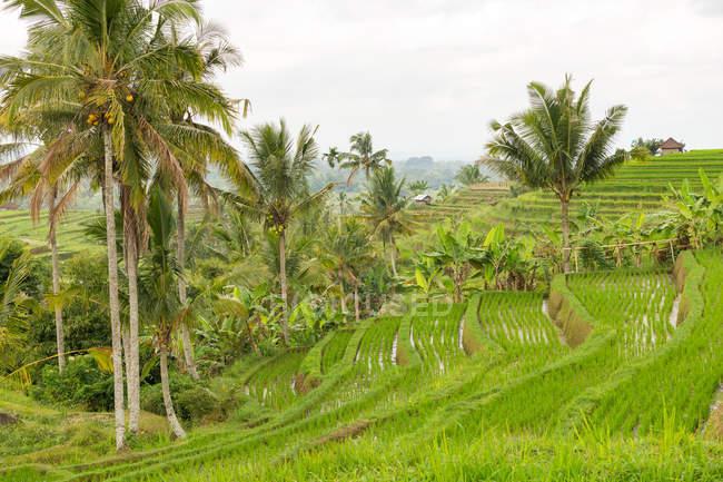 Індонезія, Балі, Табанан, рисові тераси та поля в Балі, красиві пишному пейзаж — стокове фото