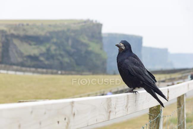 Schwarze Krähe auf Holzzaun auf felsigen Hintergrund, Cliffs of Moher, County Clare, Irland — Stockfoto