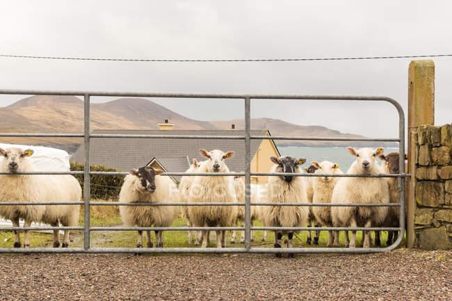 Ring of Kerry, Schafherde auf einer grünen Wiese am Meer, County Kerry, Irland, Kerry — Stockfoto