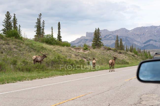 Kanada, Alberta, Jasper Nationalpark, Hirsche am Rande der Straße — Stockfoto