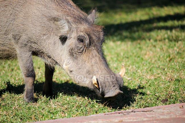 Namibia, Okapuka Ranch, Warzenschwein Essen Rasen auf Wiese — Stockfoto