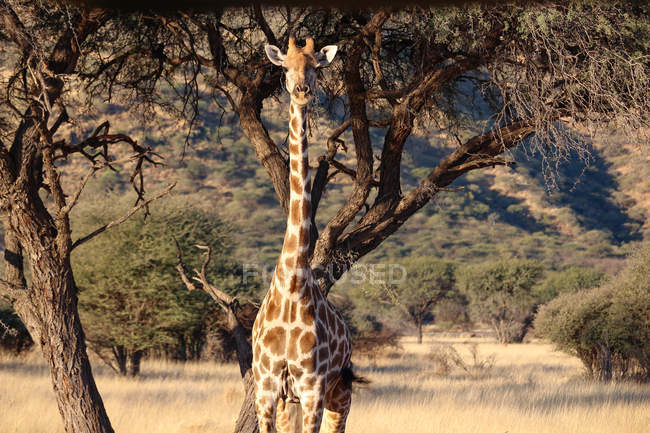 Namibia, Okapuka Ranch, Safari, Giraffe in sunny African landscape — Stock Photo