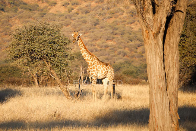 Namibia, Okapuka Ranch, Safari, Giraffe in natural habitat — Stock Photo
