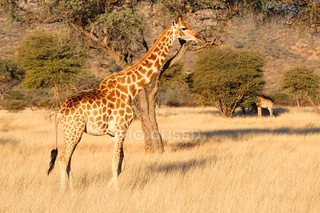 Namibie, Ranch Okapuka, Safari, Deux Girafes en pleine nature — Photo de stock