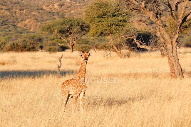 Namibia, Okapuka Ranch, Safari, Little Giraffe in dried grass field — Stock Photo