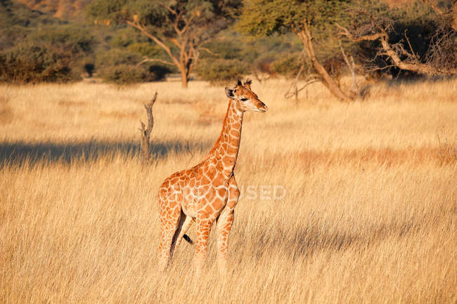 Namibie, girafe petit Okapuka Ranch, Safari, au soleil dans leur habitat naturel — Photo de stock