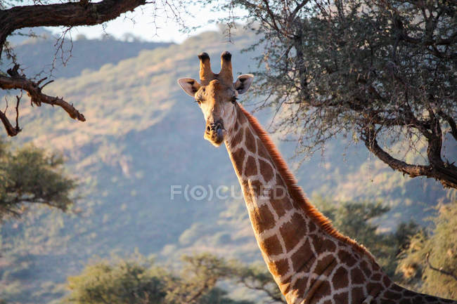 Namibie, regardant la caméra en tête de girafe Okapuka Ranch, Safari, entre les arbres — Photo de stock