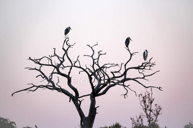 Botswana, Chobe National Park, birds on branches at dawn on Chobe River — Stock Photo