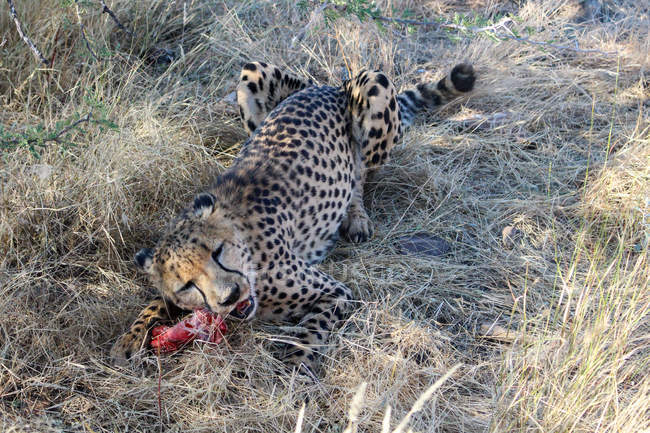 Namibia, D?sternbrook, safari with feeding a cheetah, cheating on the flesh — Foto stock