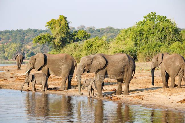 Botswana, Chobe National Park, game drive, safari along the Chobe River, elephants drinking water at watering place — Stock Photo
