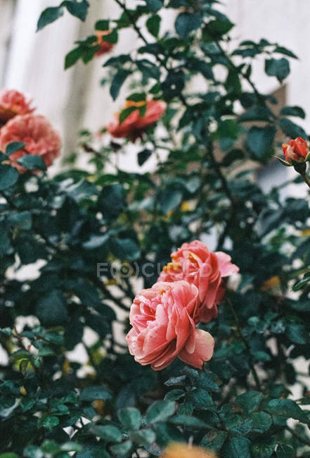 Closeup of blooming rose bush with green leaves — Stock Photo