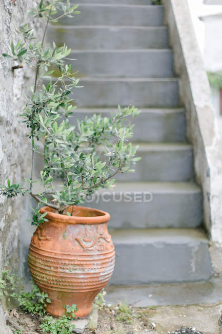 Greece, Makedonia Thraki, Theologos, olive tree in front of staircase — Stock Photo