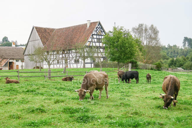 Germany, Bavaria, Kronburg, cows eating grass on pasture at old farm — Stock Photo