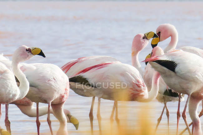 Bolivien, Flamingos in der Laguna Colorada — Stockfoto