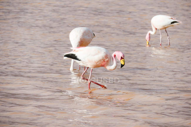 Bolivien, Flamingos in der Laguna Colorada — Stockfoto