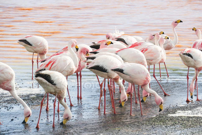 Bolivien, Flamingos am Kiesstrand an der Laguna Colorada — Stockfoto