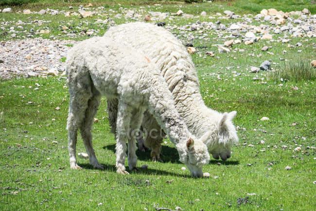 Pérou, Arequipa, Chivay, lamas sur prés de la vallée du Colca — Photo de stock