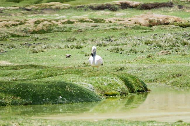 Arequipa, Peru Chivay, Flamingo auf dem grünen grasbewachsenen Weg zum Colca Tal — Stockfoto