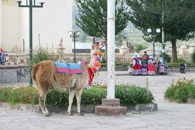 Pérou, Arequipa, Caylloma, Lama dans le District de Yanque, vallée du Colca — Photo de stock