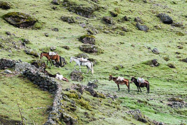 Cavalli al pascolo su verdi colline erbose sul trekking Lares a Machu Picchu, Lares, Cuzco, Perù . — Foto stock