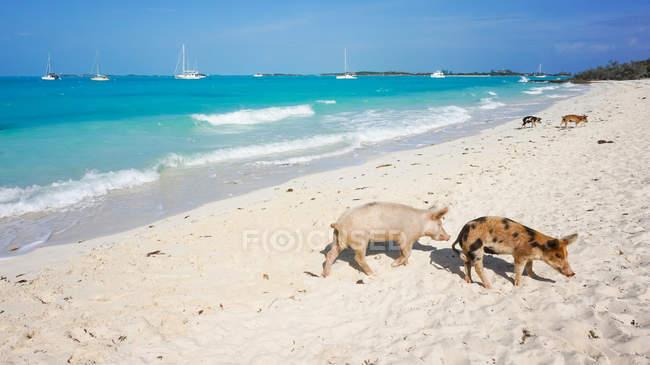 Багамські острови, великої Exuma, свиня острів, свиней на білий піщаний пляж, морський пейзаж Сонячний подання — стокове фото