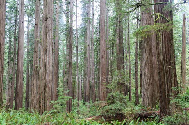 USA, Californie, Crescent City, scène de la forêt de séquoias — Photo de stock