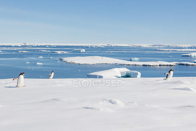 Antarctica, snowy landscape and penguins on icy bay — стоковое фото