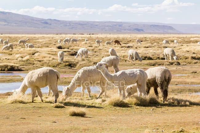 Peru, arequipa, wilde Alpakas, die im Freien in natürlichem Lebensraum grasen — Stockfoto