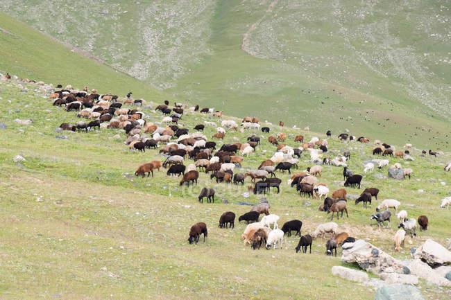 Кыргызстан, Таласская область, Токтогульского, стадо овец в долине в Кировское водохранилище — стоковое фото