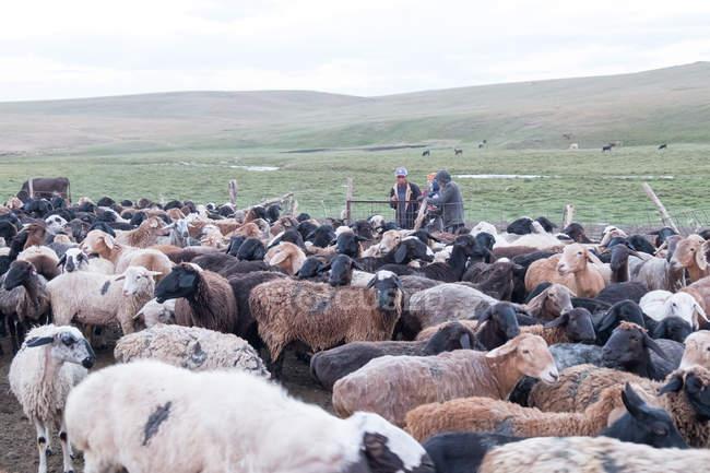 Kyrgyzstan, Naryn Region, Kochkor Bezirk, Schafherde — Stockfoto