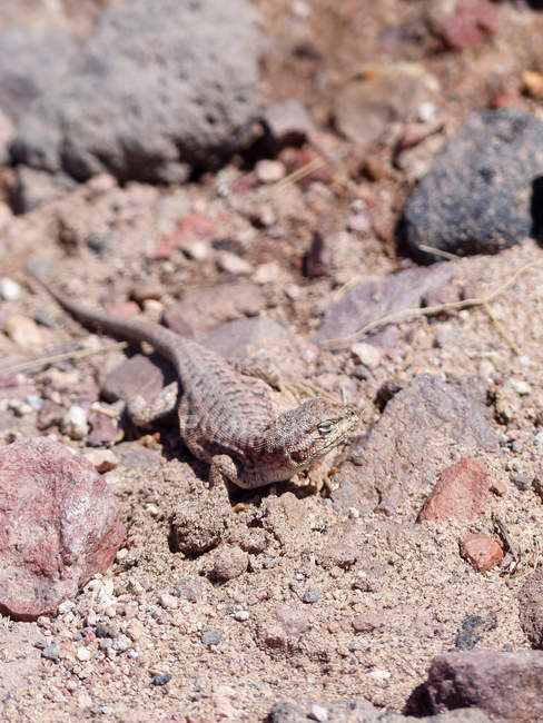Chile, Laguna Miscanti Eidechse auf dem Boden im natürlichen Lebensraum — Stockfoto