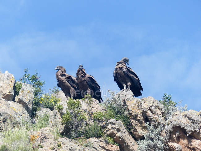 Pérou, Arequipa, Choca, Colca Canyon, Young Condors — Photo de stock