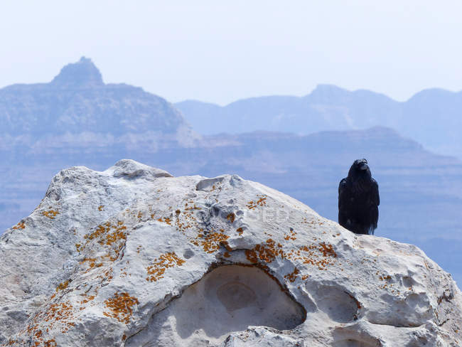 USA, Arizona, Grand Canyon, Raven auf Felsen mit Bergen im Hintergrund — Stockfoto