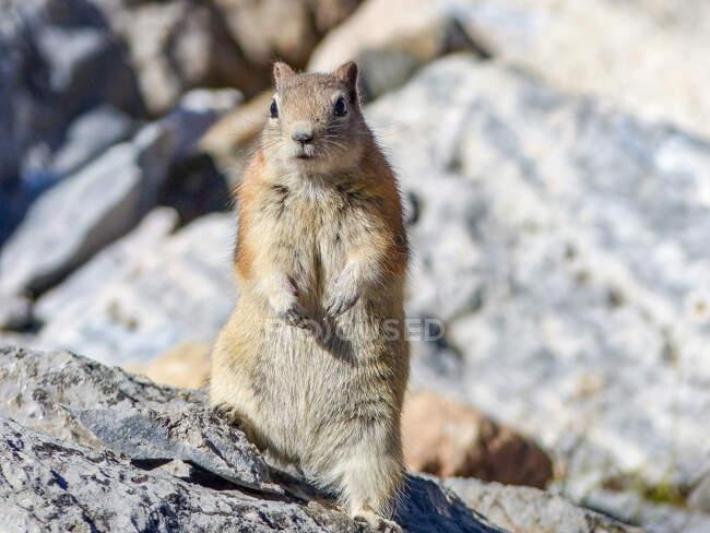 Канада, Альберта, Close up of Standing buzmunk — стоковое фото