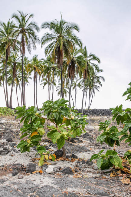 Verdeckte Lava und Palmen an der Küste des Pu 'uhonua o honaunau National History Park, Hawaii, USA — Stockfoto
