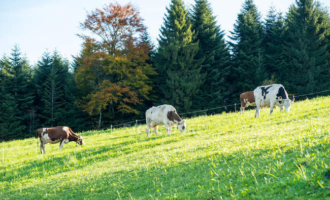 Allemagne, Oberwolfach, Westweg, pâturage de vaches par la forêt — Photo de stock