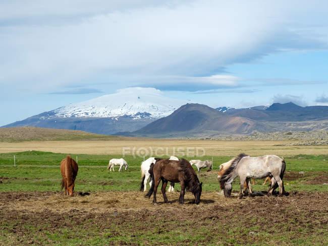Gruppe von Pferden auf der Weide im Freien, Island — Stockfoto