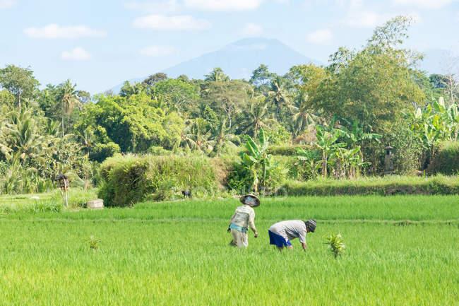 Indonesia, Bali, Badung, Jatiluwih, people working at rice terraces — Stock Photo