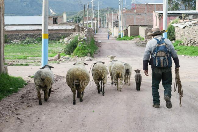 Male shepherd with sheep in Colca Valley, Chivay, Arequipa, Peru — Photo de stock