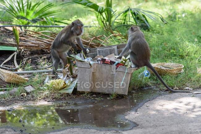 Индонезия, Бали, Кабамбатен Джембрана, две обезьяны на мусорном баке — стоковое фото